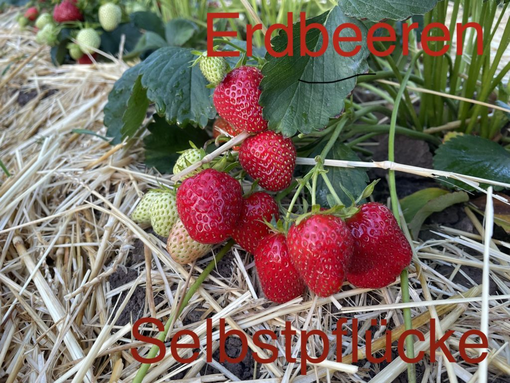 Erdbeeren Info 7.6.